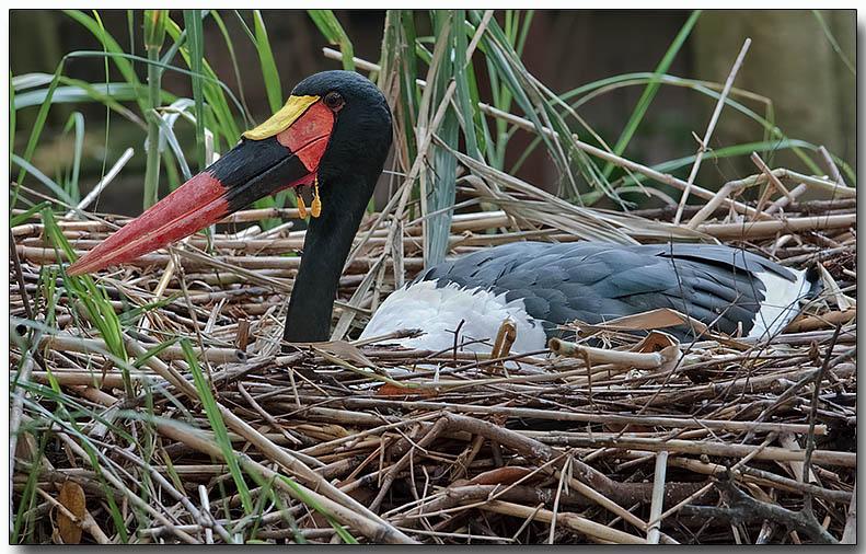 Saddle-billed Stork - nest