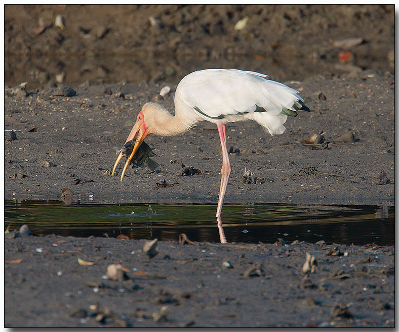 Milky Stork with Lunch