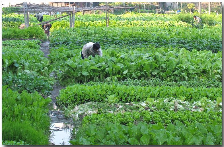 Tending the crops, Fuzhou
