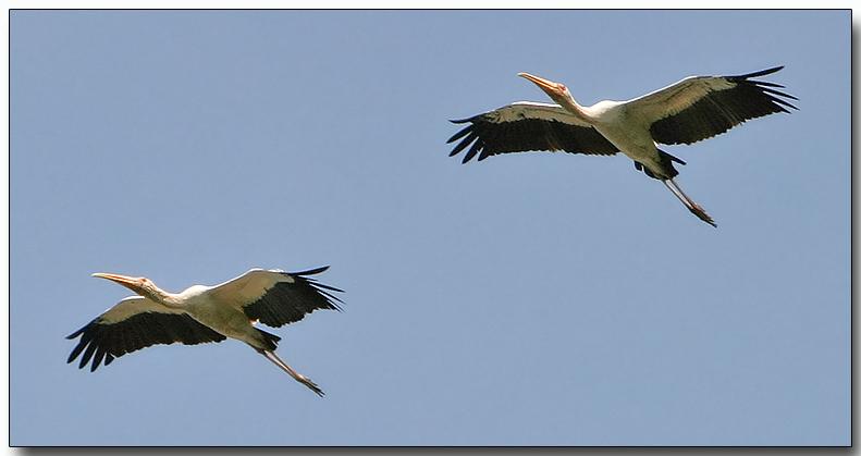 Milky Storks in flight