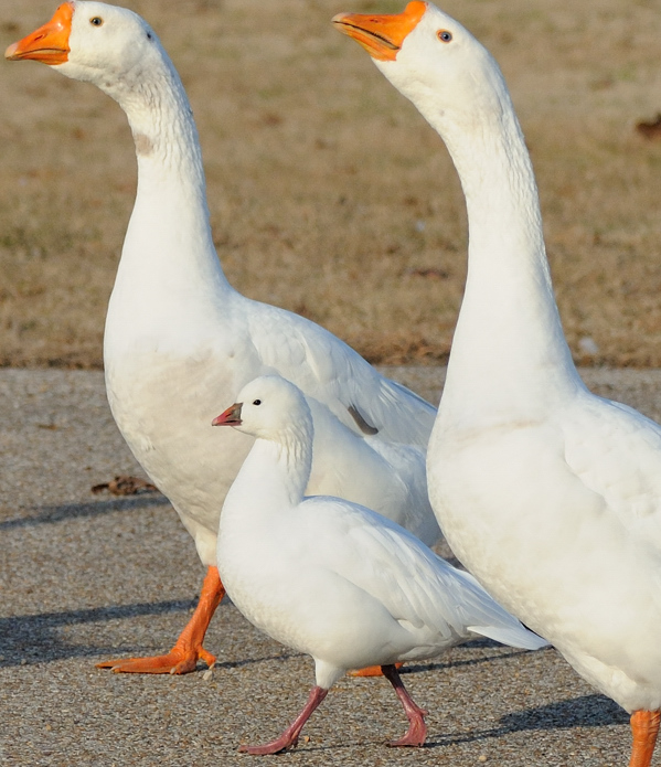 Rosss Goose with 2 guards