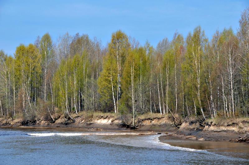 Silver birch forest