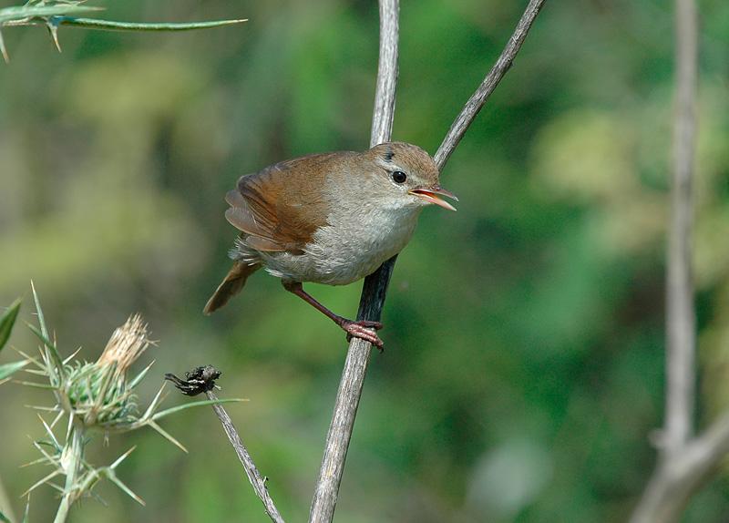 Cettis zanger (Cettia cetti)