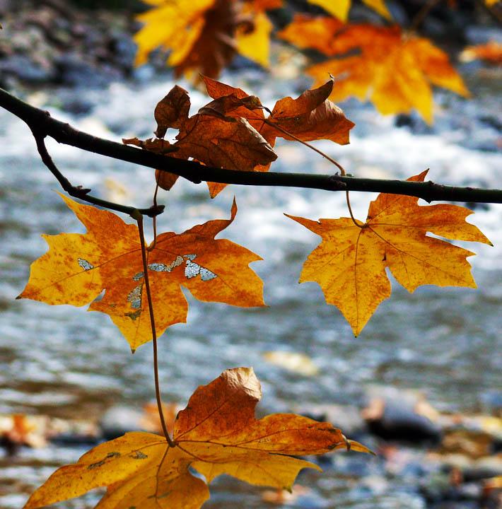 Maple leaves, Merced River