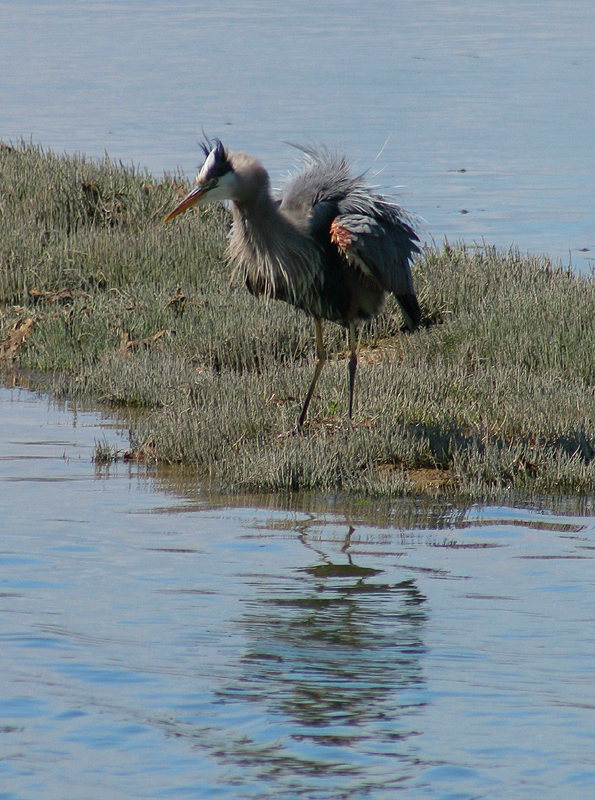a ruffled Great Blue Heron