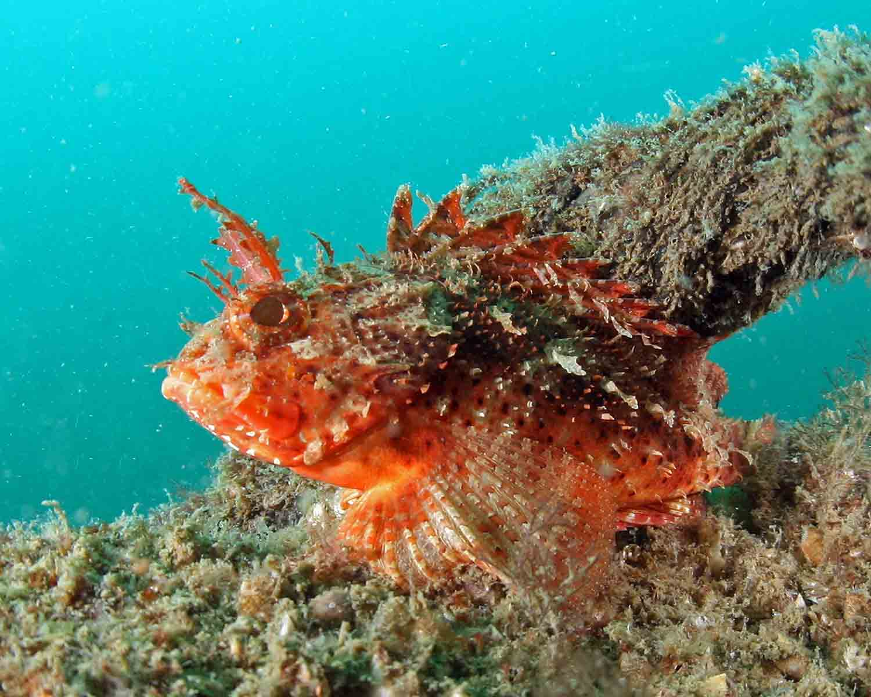 Plumed Scorpionfish at MB-126
