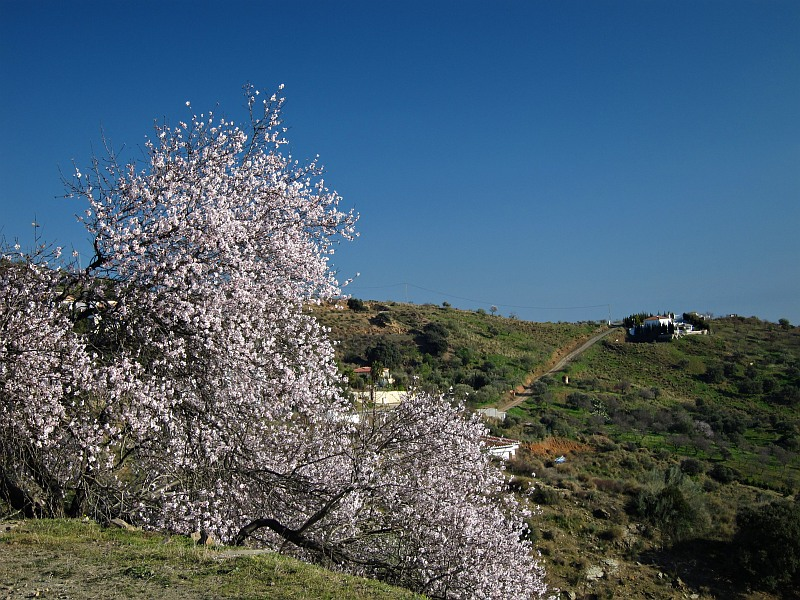 Almond blossom near Moclinejo