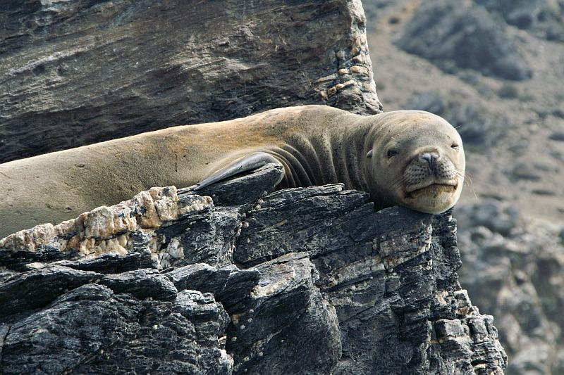 Sea Lion, Isla Choros