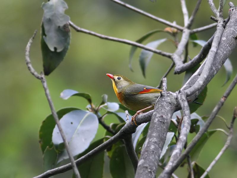 Red-billed Lieothrix