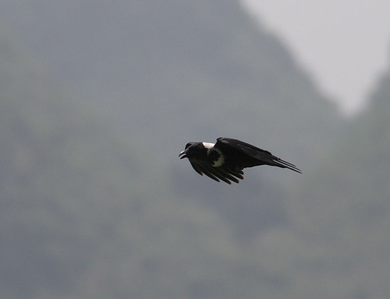 Collared Crow