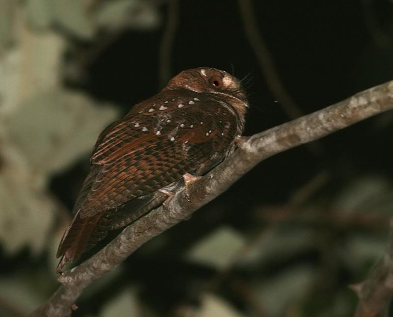 Molucan Owlet-Nightjar