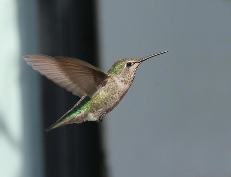 Annas Hummingbird, fem