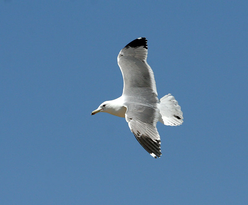 Californian Gull