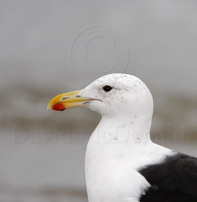 Kelp Gull_1845.jpg