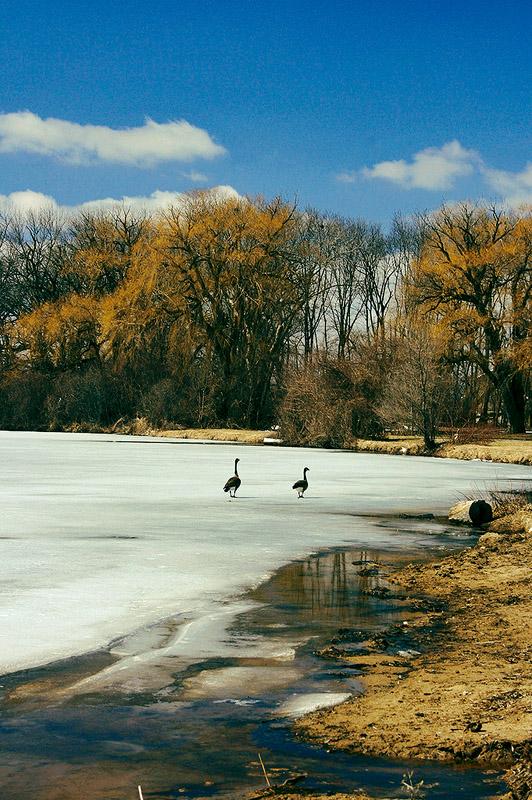 Geese On Ice ADJ.jpg