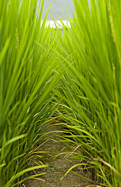 Rice field from the edge