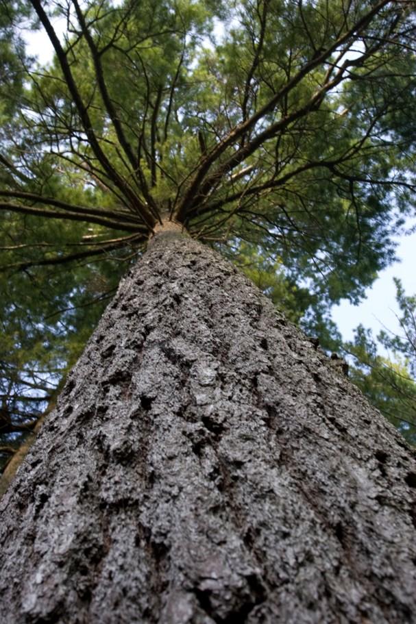 Our White Pine 2