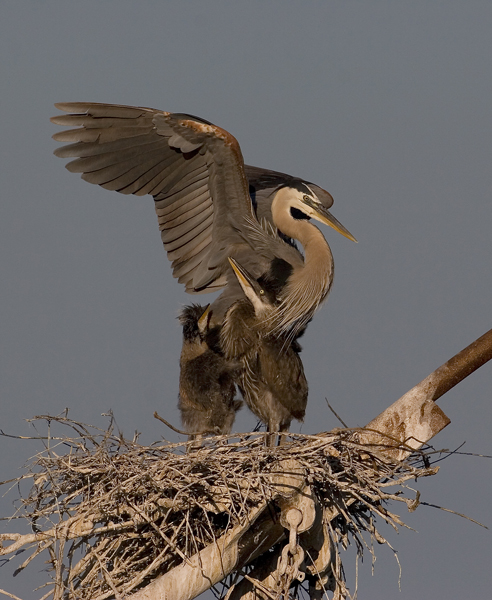 Heron Chicks Hero-Worshipping their Mama