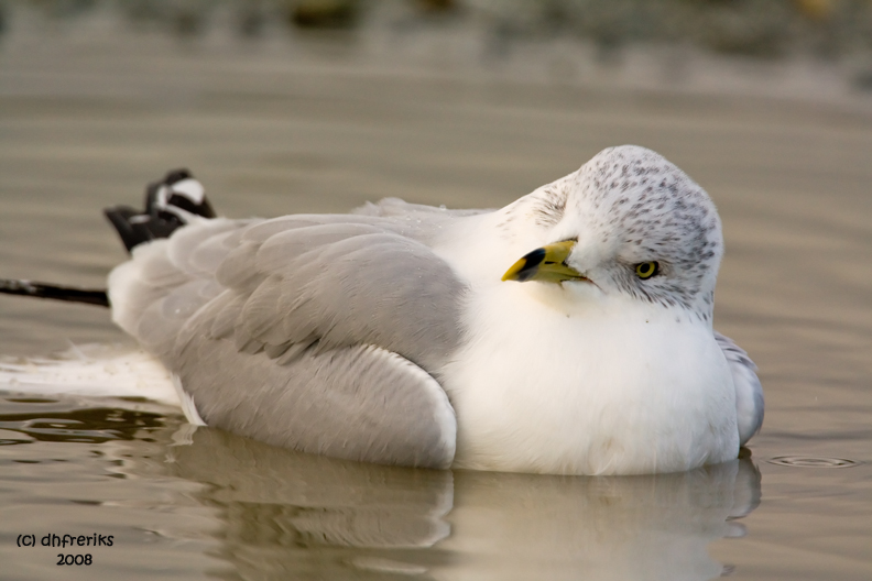 Ring-billed Gull. Anacortes, WA