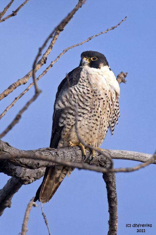 Peregrine Falcon. Horicon Marsh. WI