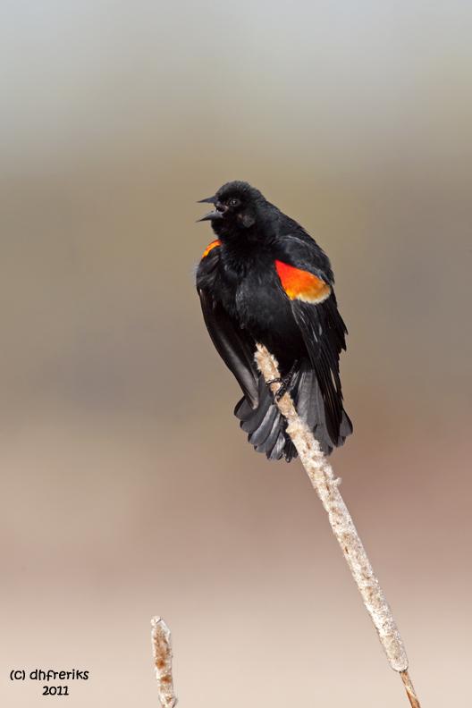 Red-winged Blackbird. Horicon Marsh, WI