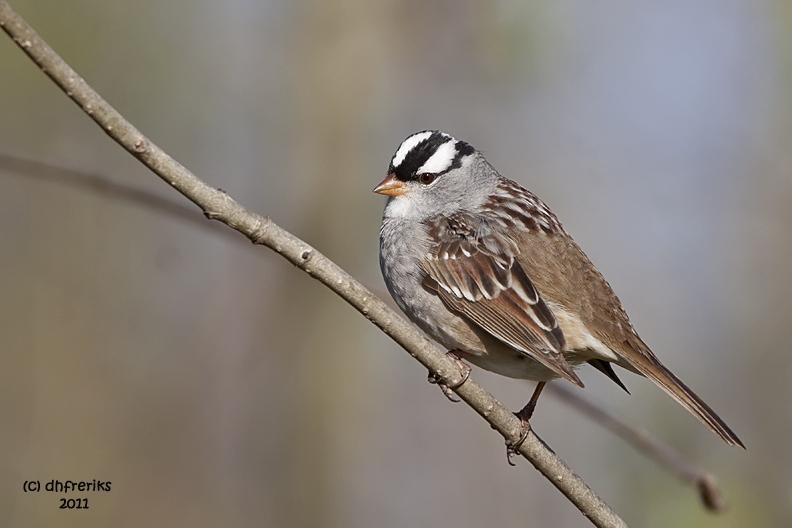 White-crowned Sparrow. Lake Park, Milwaukee
