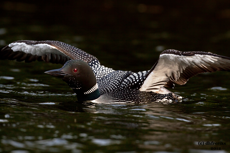 Common Loon. Sylvania Wilderness Area. N. Michigan