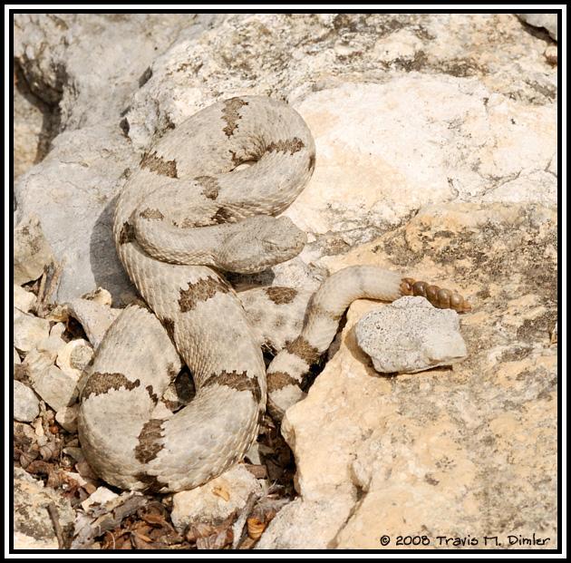 Mottled Rock Rattlesnake ( Crotalus lepidus lepidus )