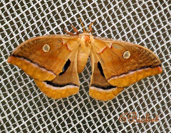 Missouri Moth