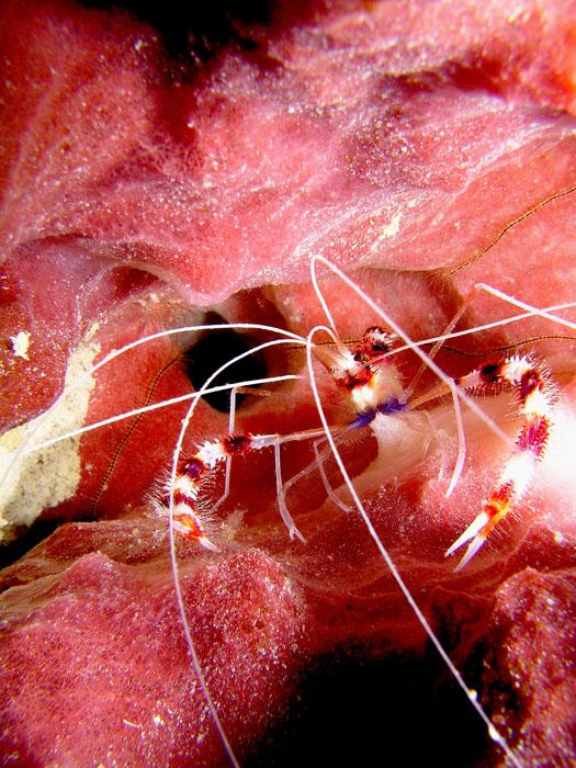 Banded Coral Shrimp 1
