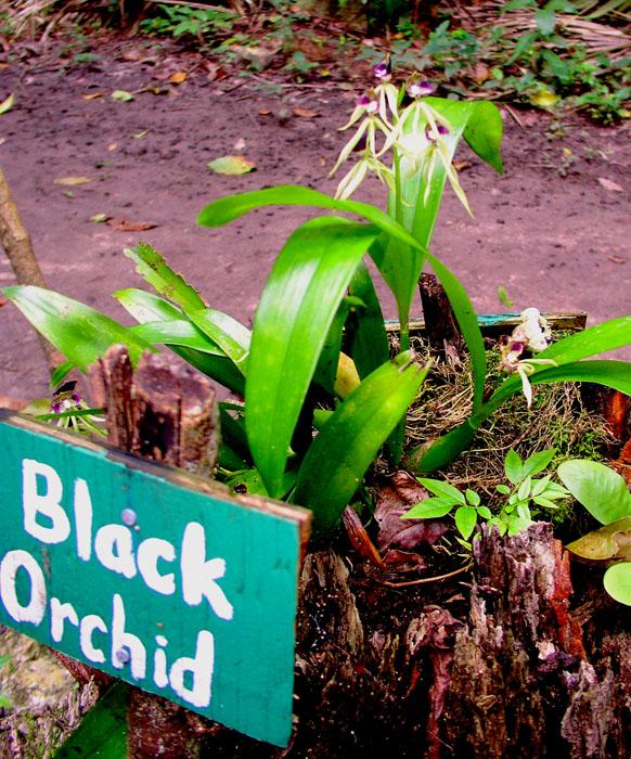 Black Orchid 1
