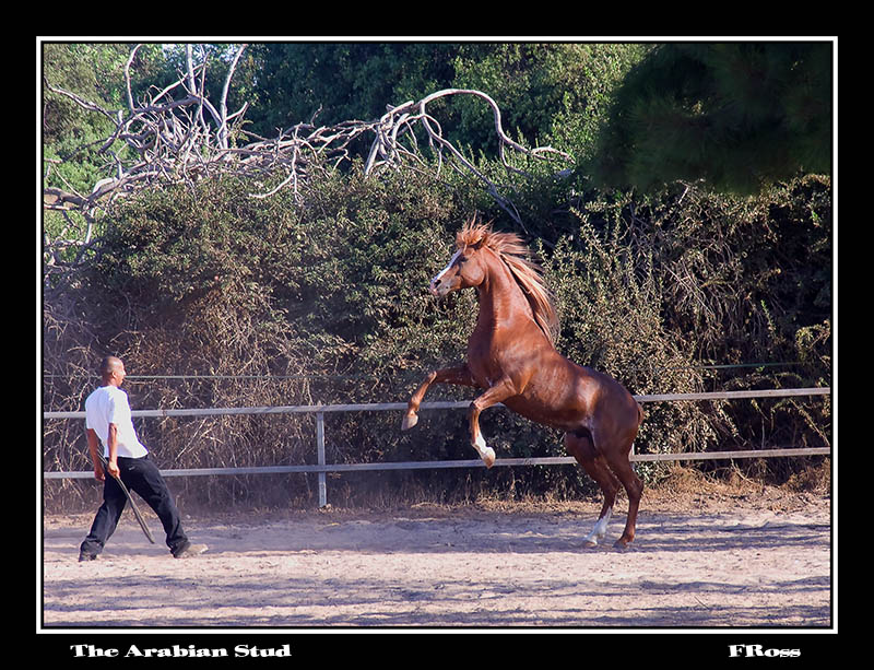 The Arabian Stud.jpg