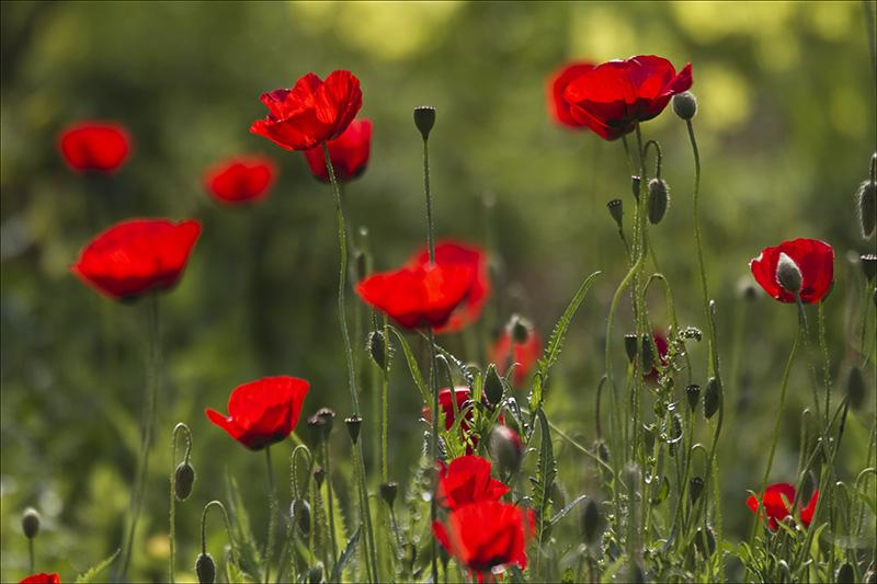 Kalaniot, Israels national flower