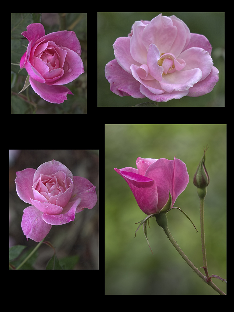 Roses after the Storm.jpg