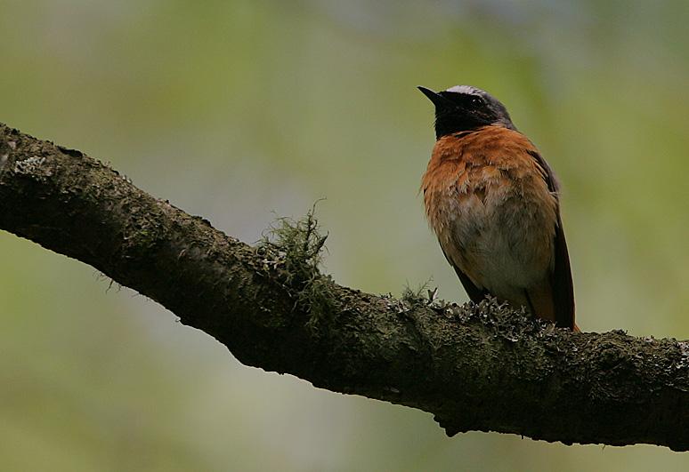 Redstart male