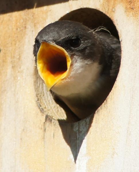 Tree Swallow Fledgling