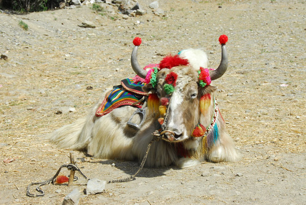 ....a highly decorated Yak!