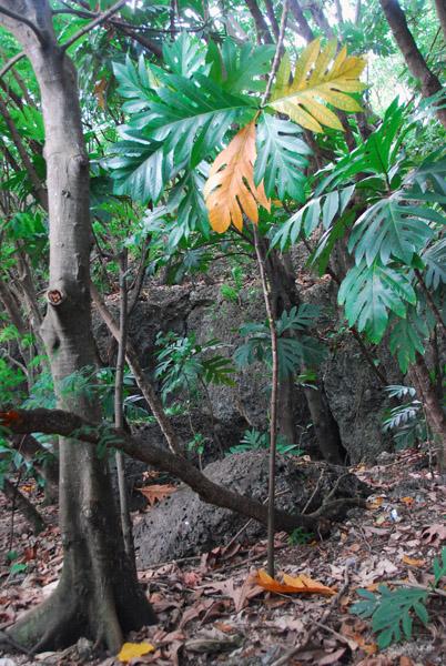 Breadfruit (pakok) on the hill at Asan Beach