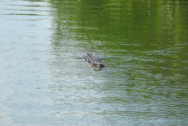 Here comes a crocodile