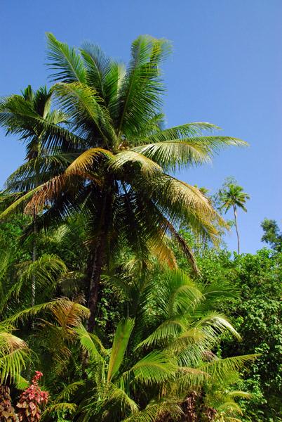 Palm, Melekeok , Palau