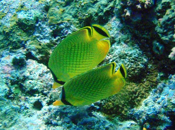 Latticed butterflyfish (Chaetodon rafflesi) Palau
