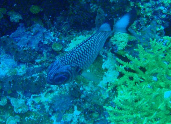 Shadowfin soldierfish (Myripristis adusta) Palau