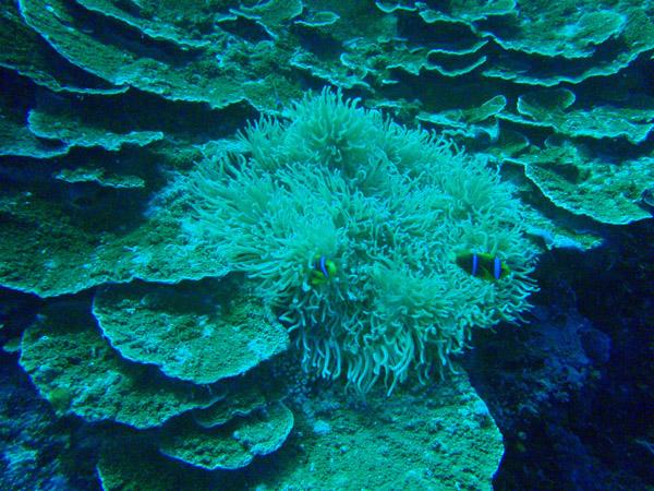 Anenome, Big Drop-off, Palau
