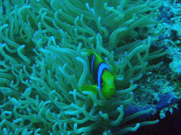 Orangefin anemonefish (Amphiprion chrysopterus) Palau