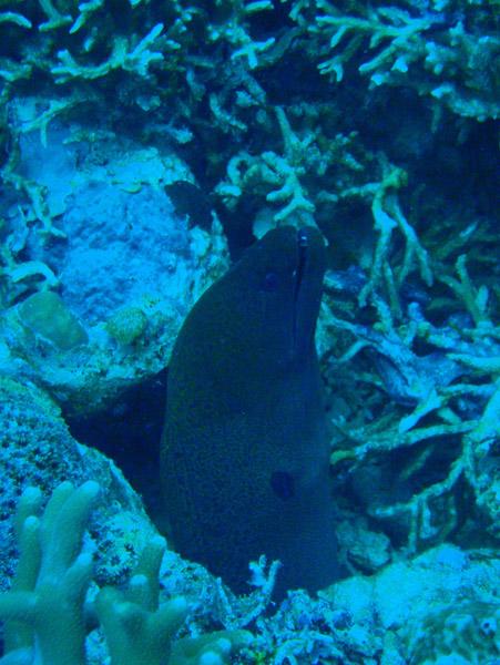 Moray eel, German Channel