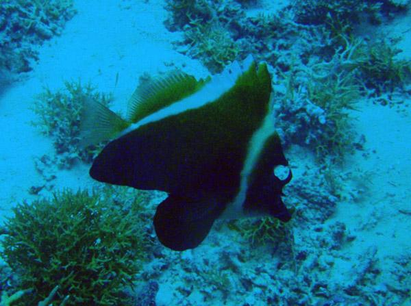 Humphead Bannerfish (Heniochus varius) Palau