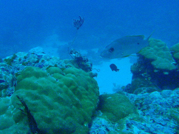 Onespot snapper (Lutjanus monostigma) Palau