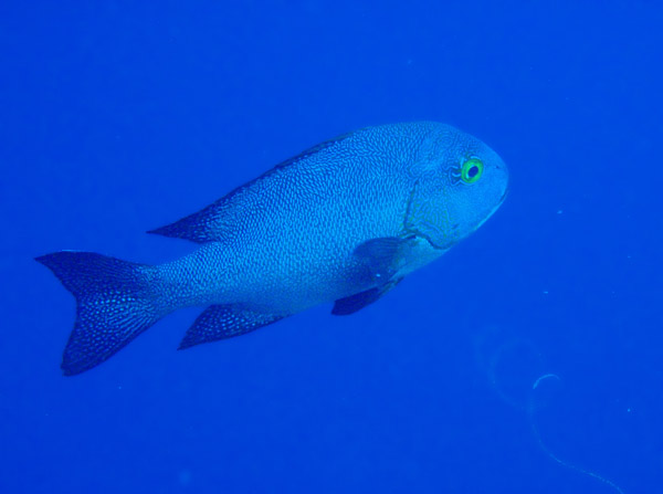 Midnight Snapper (Macolor Macularis) Palau