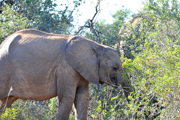 Addo Elephant National Park was founded in 1931 to provide sanctuary for the last 11 elephants in the Cape