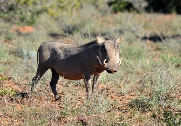 Warthog (Phacochoerus africanus), Addo National Park